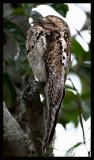 Common Potoo  2