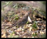 Common Ground-Dove / Tortolita Sabanera