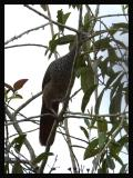 Colombian Chachalaca 2