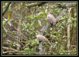 Bare-faced Ground-Dove 2
