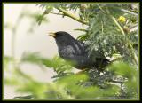 Slender-billed Finch 2