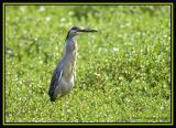 Striated Heron 1