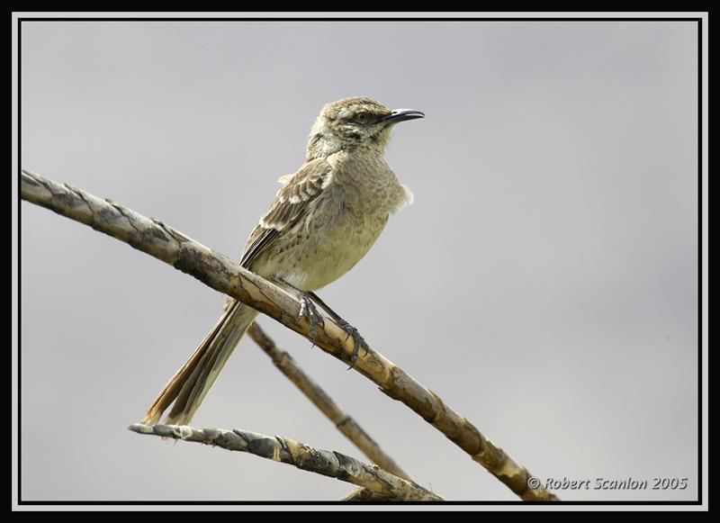 Long-tailed Mockingbird 1