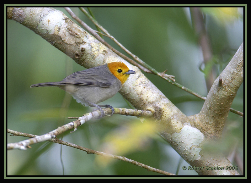 Orange-headed Tanager 2