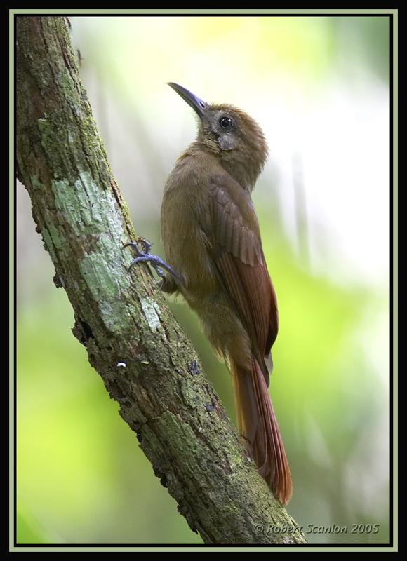 Plain-brown Woodcreeper 2