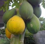 Mature Papayas