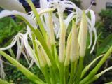 Spider Lily Blossoms (Crinum asiaticum)