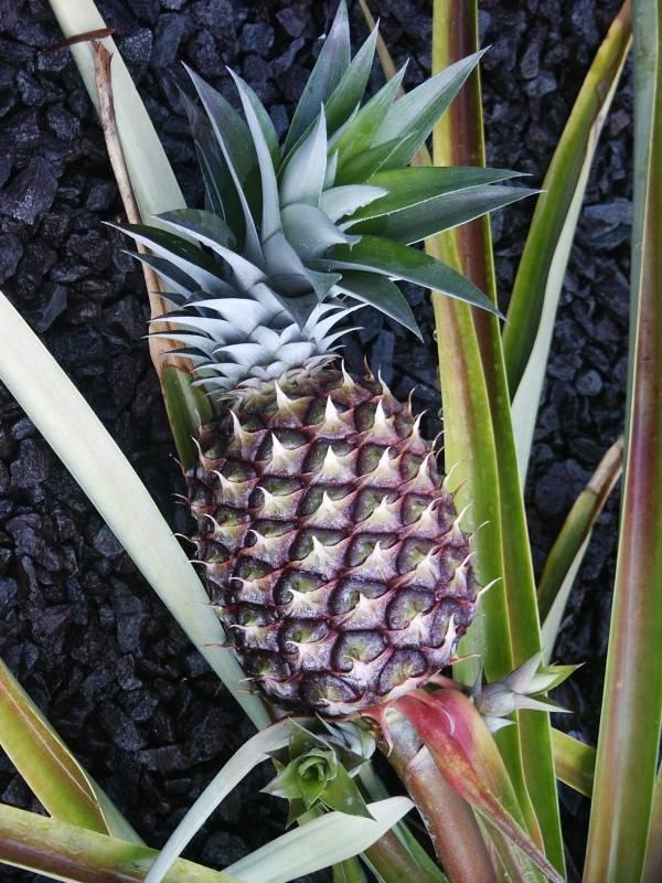 Pineapple, (Ananas comosus)