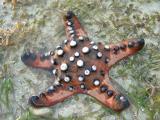 Knobbly Starfish
