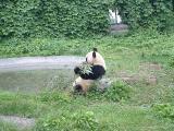 Panda2 at Beiing Zoo