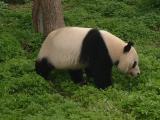 Panda1 at Beijing Zoo