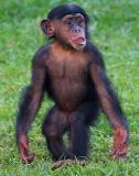 Young chimpanzee standing
