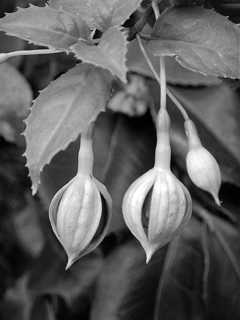 Fuchsia Buds