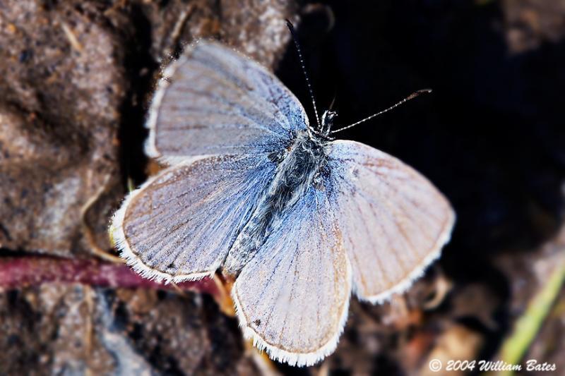Periwinkle Butterfly.jpg