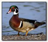 Wood Duck on land