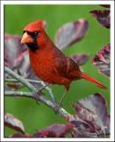cardinal_DSC1640.jpg