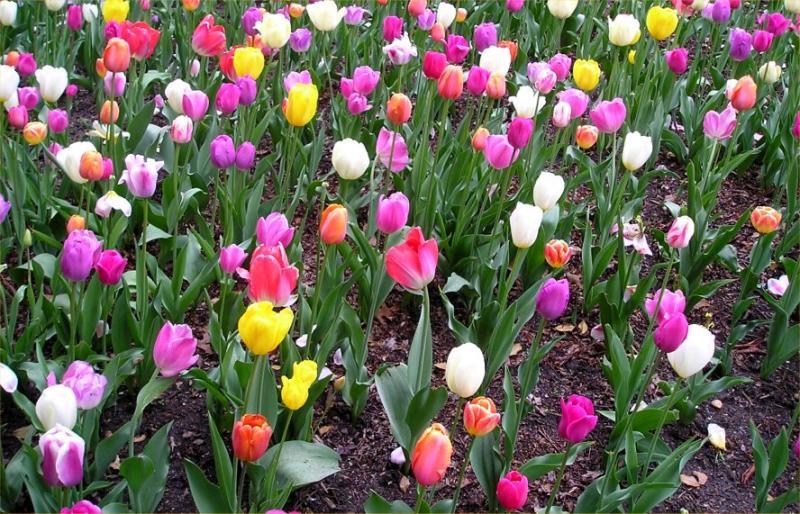 Tulips at Brooklyn Botanical Garden