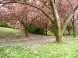 Cherry festival at Brooklyn Botanical