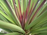 Yucca flower bud