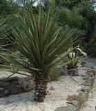 Yucca - possibly carnerosana
