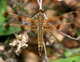 Painted Skimmer - Libellula semifasciata (male)