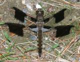 Common Whitetail - Plathemis lydia (immature male)