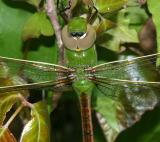 Common Green Darner -  Anax junius (female)