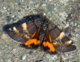 6256 - The Infant Moth - Archiearis infans