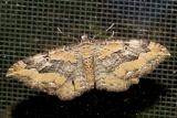 7290 -- Barberry Geometer Moth -- Coryphista meadii
