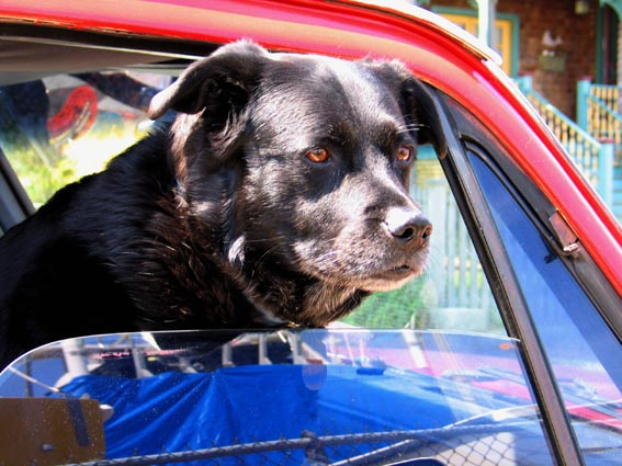 dog in car window.jpg
