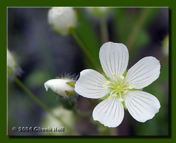White Geraniums Along the Trail