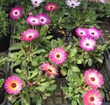 Sendai Flower market ; Osteosperma
