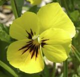 Ken Trimmers flower perhaps pansy or violet DSCN2803.jpg