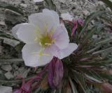 Evening Primrose Huge roadside flower up Scout Mtn DSCN3201.jpg