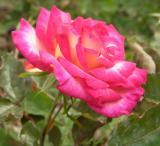 campus rose DSCN5320.jpg