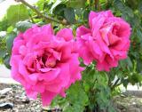 roses near campus Catholic church DSCN5332.jpg