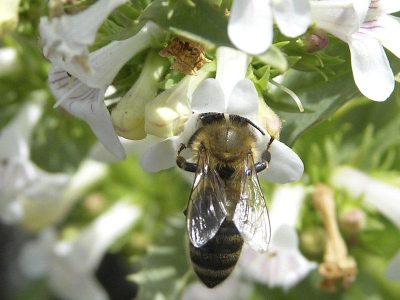 Bee in Flower at Hells Half Acre RSCN2753.jpg