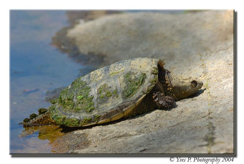 Sleepy Snapping Turtle ...