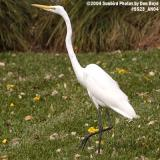 Great Egret bird stock photo #9523