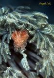 Cuttlefish Juv