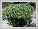 Edelweiss Start Blooming