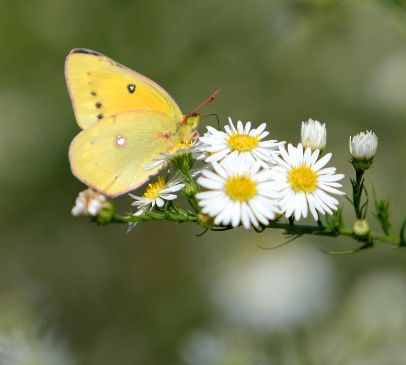 yellow-butterfly-close.jpg