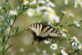 Swallowtail-1.jpg