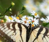 swallowtail--4.jpg