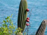 242 Prickly Pear cactus.jpg