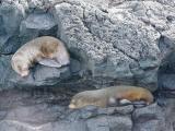 908 Sea Lions sleeping precariously.jpg