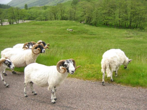 Rams on the Wander (Glen Nevis)