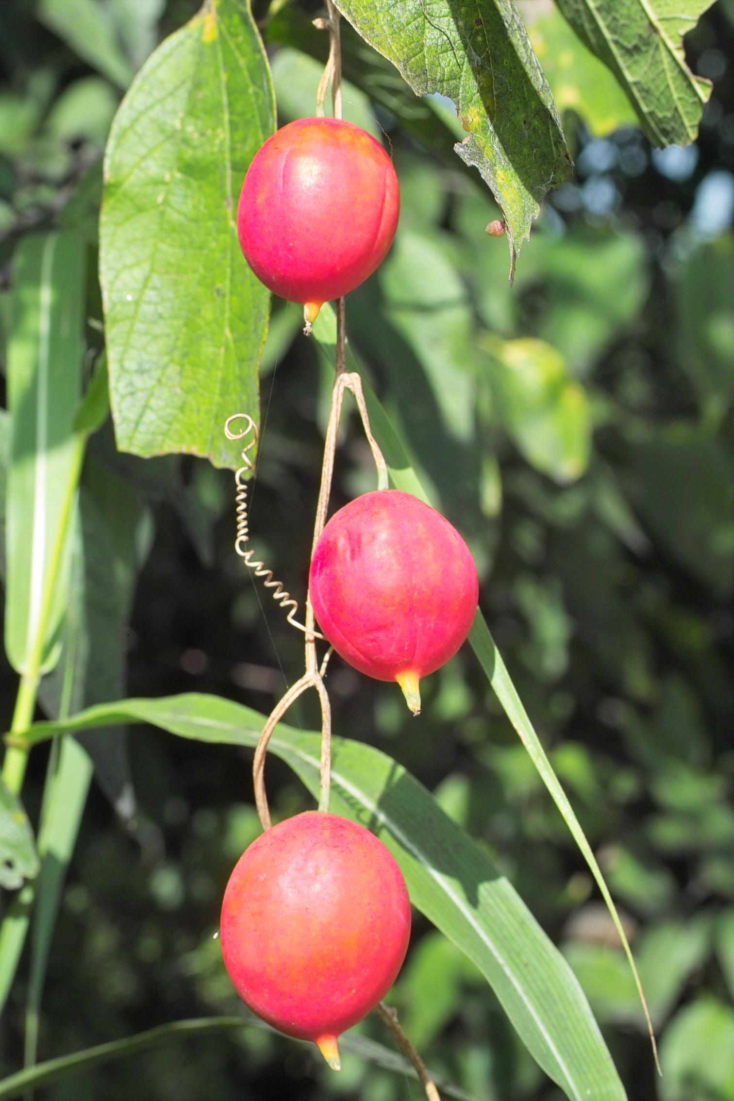 Passion Flower Fruit