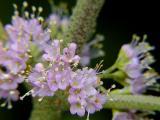 Choke Berry Flower