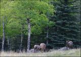 Elk in Their Environment